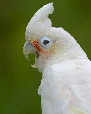 Cockatoo Photograph - Tanimbar Correla by Tony Beck