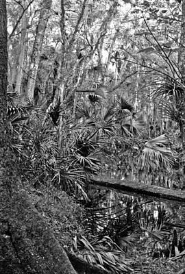Photograph - Tannic Creek. Green Swamp Wildlife Management Area Polk County. by Chris  Kusik