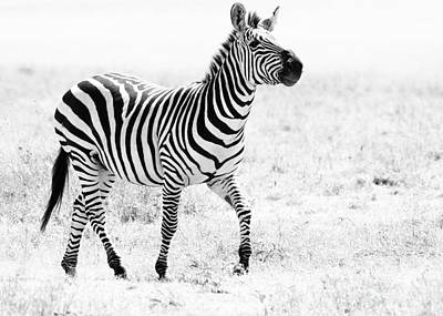 Photograph - Tanzania Zebra by Chris Scroggins