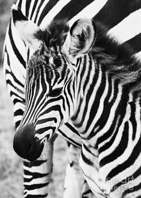 Photograph - Tanzania Zebra Foal by Chris Scroggins