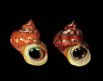 Pattern Photograph - Tapestry Turban Sea Snail Shells by Gilles Mermet