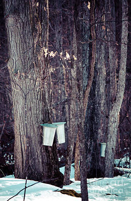 Sugaring Season Photograph - Tapped Maples by Cheryl Baxter