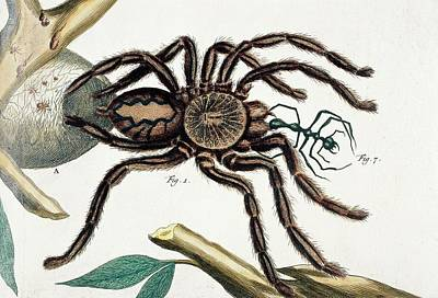 Maxima Wall Art - Photograph - Tarantula Feeding by Natural History Museum, London/science Photo Library