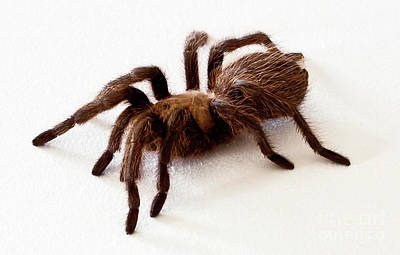 Photograph - Tarantula by Lawrence Burry