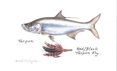 Tarpon And Red Black Tarpon Fly Art Print by Daniel Lindvig