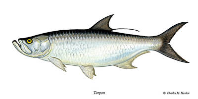 Slam Painting - Tarpon by Charles Harden