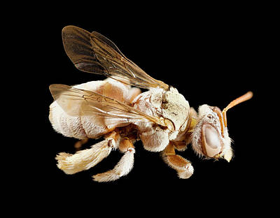 Specimen Photograph - Tarsalia Bee by Us Geological Survey