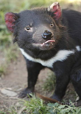 Tasmanian Devil Art Print by Craig Dingle