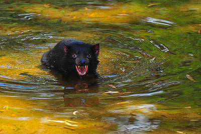 Photograph - Tasmanian Devil by Harry Spitz