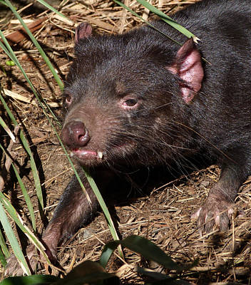 Photograph - Tasmanian Devil by Margaret Saheed
