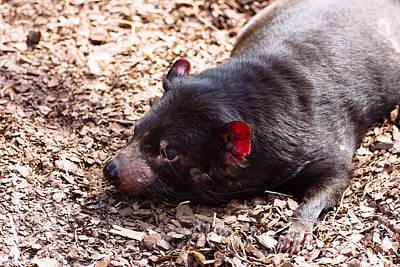Vintage Movie Stars - Tasmanian Devil by Pati Photography