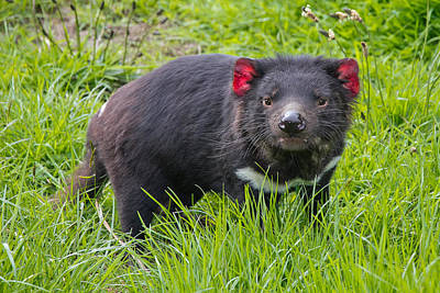 Photograph - Tasmanian Devil by Phil Stone