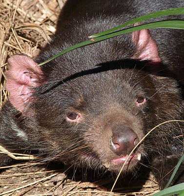 Photograph - Tasmanian Devil Portrait by Margaret Saheed