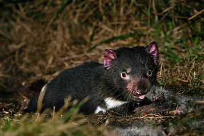 Tasmanian Devil (sarcophilus Harrisii Art Print by Martin Zwick