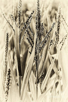 Photograph - Tassels by Jim Rossol