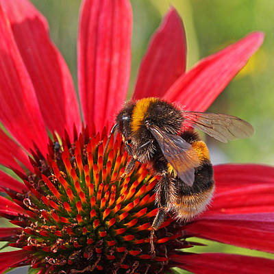 Taste Of Summer - Bee On Red Coneflower - Square Art Print