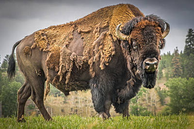 Tatanka - American Bison Art Print