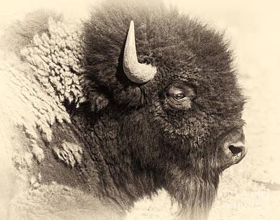 Mammals Royalty-Free and Rights-Managed Images - Tatanka by Medicine Tree Studios
