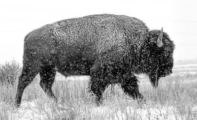 Bison Photograph - Tatonka by Nathan Gingles