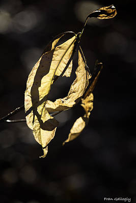 Tattered Leaf Art Print by Fran Gallogly