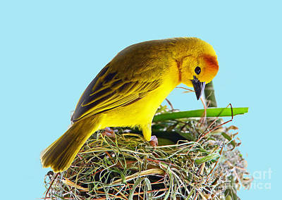 Photograph - Taveta Golden Weaver by Rodney Campbell