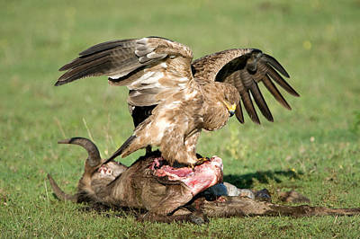 Tawny Eagle Aquila Rapax Eating A Dead Art Print