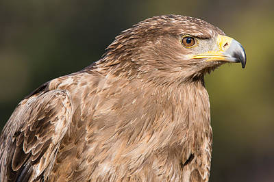 Photograph - Tawny Eagle Portrait by Chris Smith