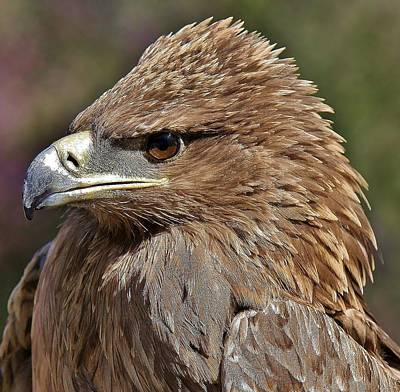 Tawny Eagle Up Close Art Print by Paulette Thomas