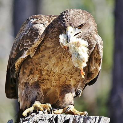 Tawny Eagle With Chicken Dinner Art Print by Paulette Thomas