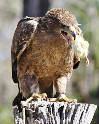 Tawny Eagle With His Prey Art Print by Paulette Thomas