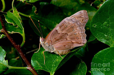 Butterlfy Photograph - Tawny Emperor Butterfly by Gregory G. Dimijian, M.D.