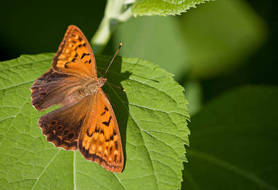 Photograph - Tawny Emperor Butterfly by Melinda Fawver
