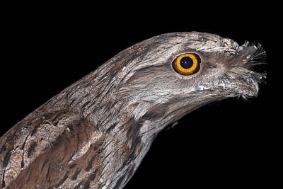 Photograph - Tawny Frogmouth by Michelle Wrighton