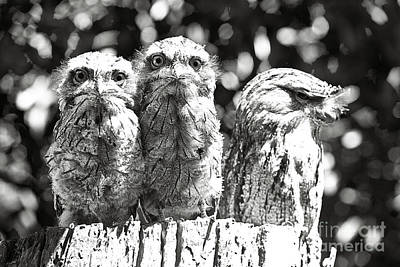 Photograph - Tawny Frogmouths by David Benson