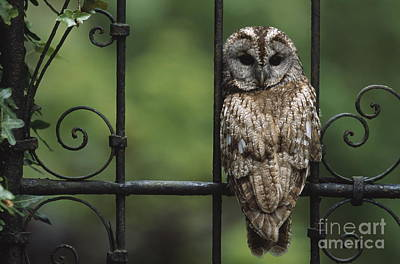 Photograph - Tawny Owl by Ann and Steve Toon