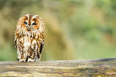 Tawny Owl Art Print by George Cox