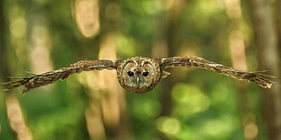 Tawny Owl In Flight Art Print by Izzy Standbridge