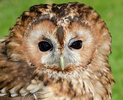 Dark Eyes Photograph - Tawny Owl by Nigel Downer