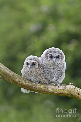 Photograph - Tawny Owlets by Paul Sawer FLPA