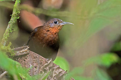 Mexicano Photograph - Tawny-throated Leaftosser by Juan Jose Arango