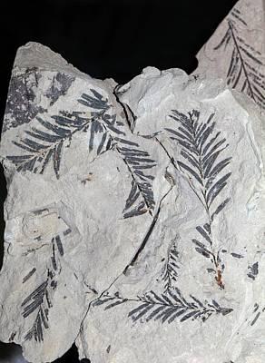 Miocene Photograph - Taxodium Dubium by Dirk Wiersma