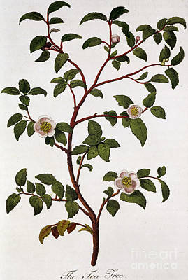 Hand Engraving Painting - Tea Branch Of Camellia Sinensis by Anonymous