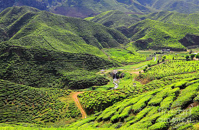 Photograph - Tea Farm by Charline Xia
