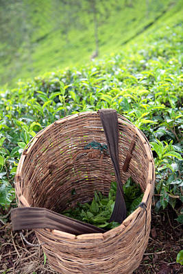Photograph - Tea Harvest by Paul Cowan
