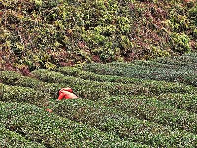 Photograph - Tea Harvest by Robert Knight