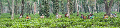 Tea Tree Photograph - Tea Harvesting, Assam, India by Panoramic Images