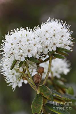 Tea Leaves And Flower Original