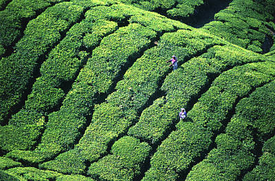 Camellia Photograph - Tea Pickers, Munar, Kerala, India by Peter Adams
