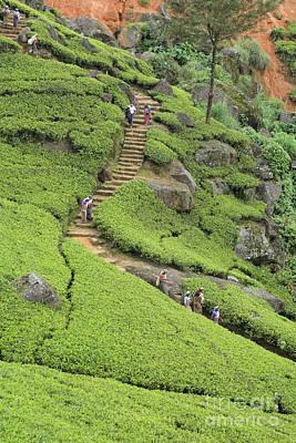 Photograph - Tea Plantation In Sri Lanka by Paul Cowan