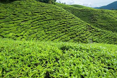 Tea Plantations In The Cameron Highlands Art Print by Scubazoo